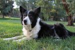 Border Collie Karra 1 by sharpk-stock