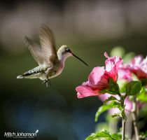 Landing on the Rose of Sharon by mjohanson