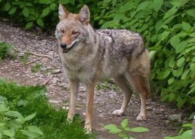 Coyote 2 by DaybreaksDawn