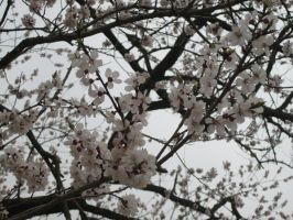 Cherry Blossoms at Gapsa by pehpig