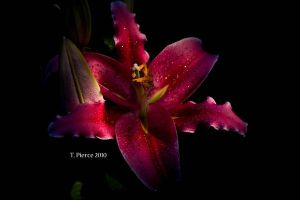 Oriental Lily by thriftyredhead