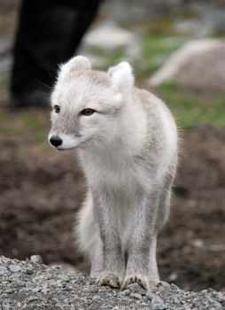 Arctic fox stock 13 by GrayeyesStock