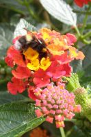 flower with bumblebee by picture-melanie