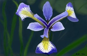Purple Iris by kennyc
