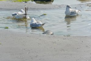 Seagulls, Salt Water Bath 45 by Miss-Tbones
