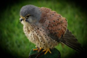 Kestrel by twilliamsphotography