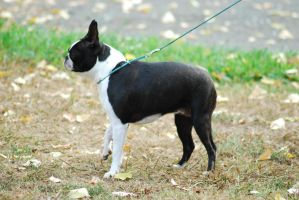 Boston Terrier by xxtgxxstock