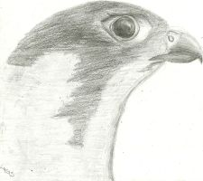 Falcon by Hickoryfur