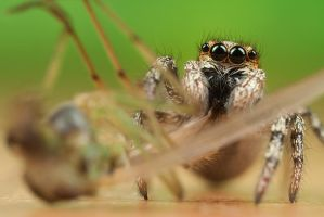 Jumping Spider with Midge by Alliec