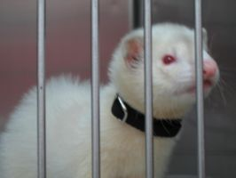 Ferret by Suki-