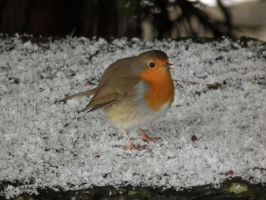 snowy robin by harrietbaxter