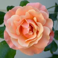 Orange Rose II by FeralWhippet