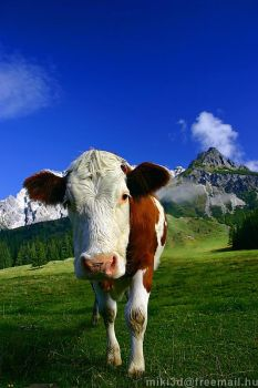 Cow In Austria by miki3d