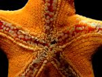 Starfish Closeup by westface2