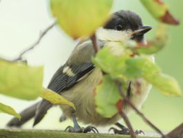 real great tit by pagan-live-style
