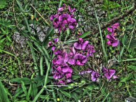 Purple Flowers -HDR- by tripptaylor