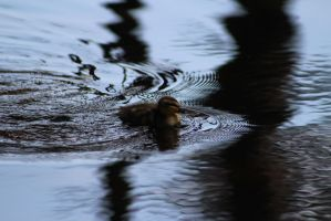 Duckling10 by eillahwolf