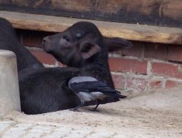 young domesticated water buffalo and hooded crow by Feridwyn