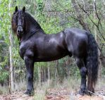 E Friesian standing square side on by Chunga-Stock