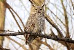 Great Horned Owl by LorreesWorld
