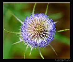 thistle flower by bracketting94