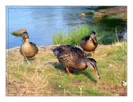 The Duck Mob by peax