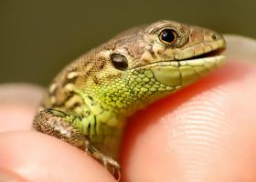 baby lizard by efeline
