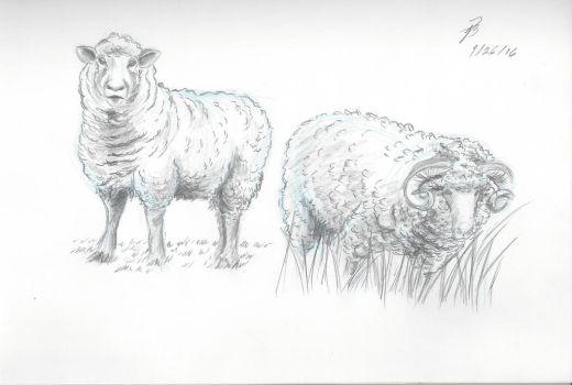 Sheep Study Sketches 1 by AngelBee23