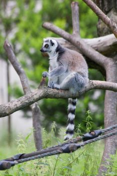 Ring-tailed lemur by synystia