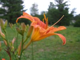 Day Lily 1 by ma8201