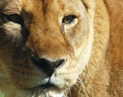 lioness by Agaver