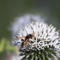 Wasp on a Thistle by Azagh