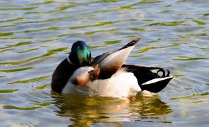 Duck III by Vargson