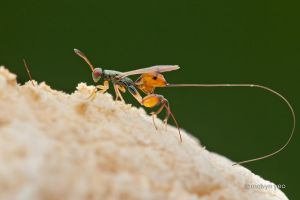Mantis Parasitic Wasp (Podagrion sp.) by melvynyeo