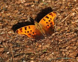Eastern Comma Butterfly by natureguy