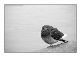 Pigeon by matthewedwardcornish