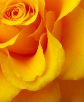 yellow by LifeThrough-a-Lens