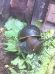 african giant land snail by willem-the-drawer