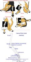 Canine Pelvic Limb Anatomy by Leonca