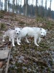 Two polar wolves 1 by spiritdaughter