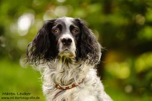 .English Setter. by Maaira