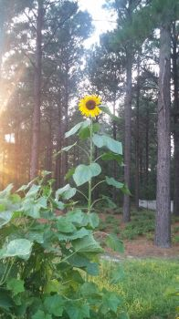 My mom's sunflower by AngelSketch17