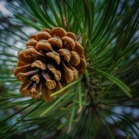 Pine Cone by EmmmBeee