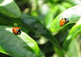 Two ladybirds on the move by KatDoodling