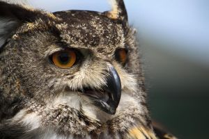 eagle owl close up by lewiscarrington