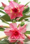 Adenium triple Clara by emmil
