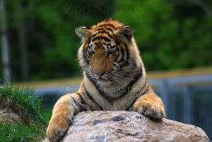 Amur Tiger 3 by Sagittor