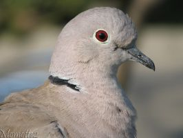 Eurasian collared dove close-up by Momotte2