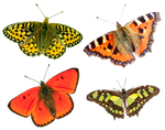 Butterflies4 png by AbsurdWordPreferred
