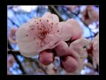 pink bloom.. by cdaile